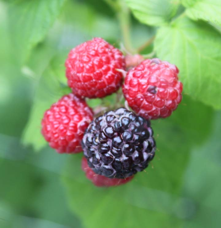 BlackRaspberry